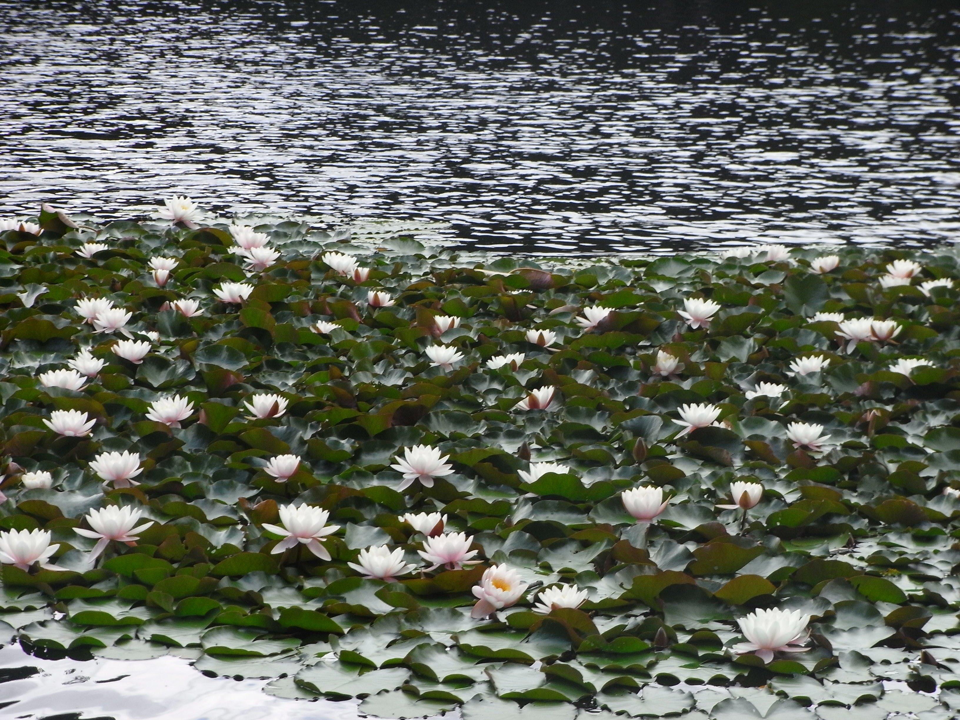 Nénuphar pris dans un lac en Corse