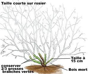 rosiertaillecourte1265197105.jpg